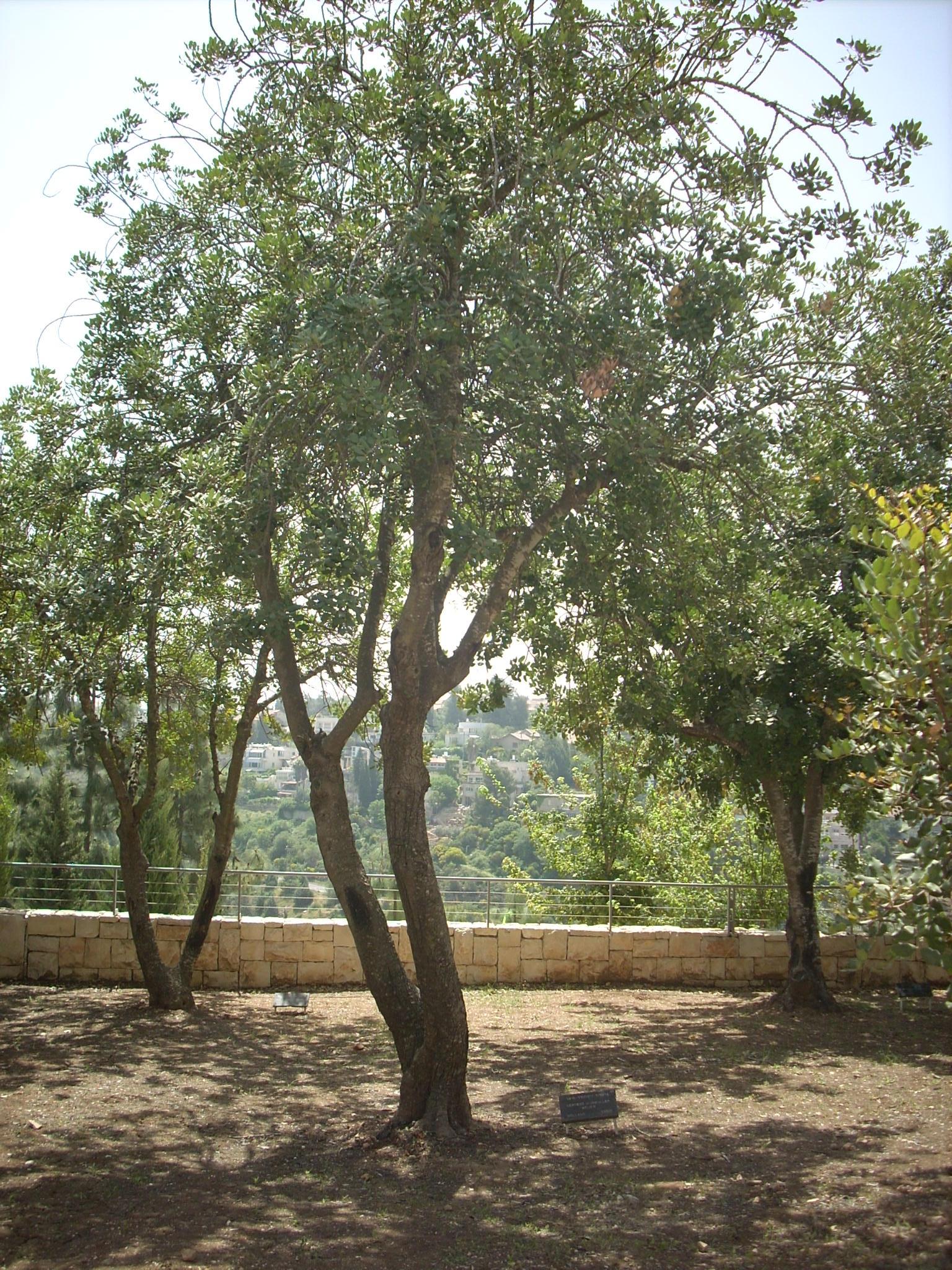 Tree in Honor of Wijsmuller